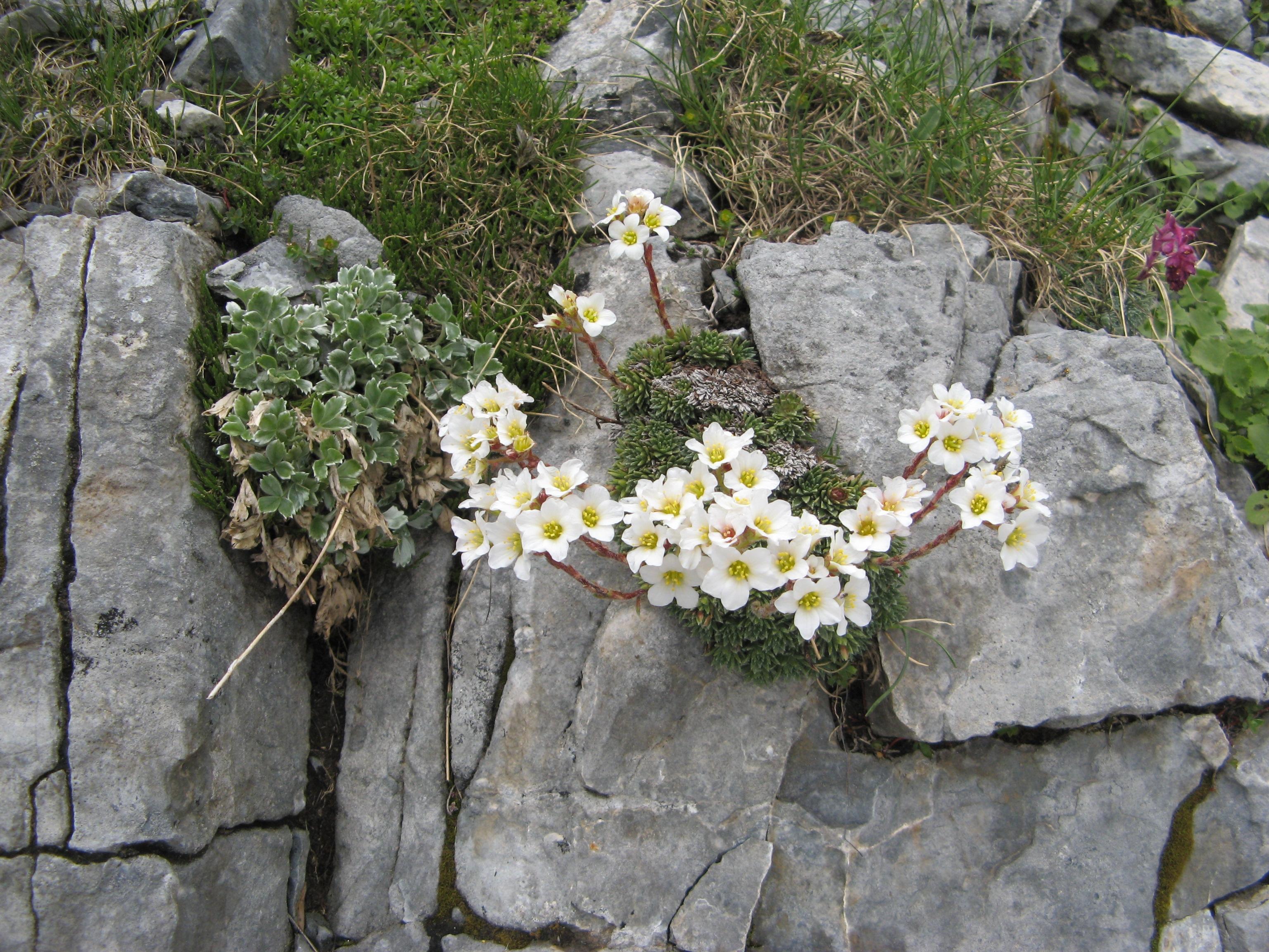 flori albe1