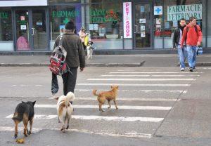 Vedere din București. Câini pe zebră. Foto: Calin Hera