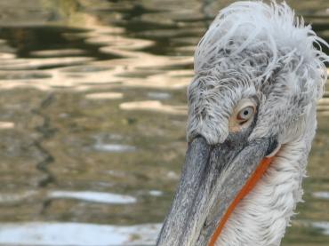 Pelican fotografiat la Grădina Zoologică din Bucuresti. FOTO: Călin Hera