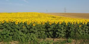Lan de floarea soarelui în judeţul Vaslui (3). FOTO: Călin Hera (iulie 2011)