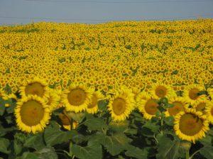 Lan de floarea soarelui în judeţul Vaslui (1). FOTO: Călin Hera (iulie 2011)