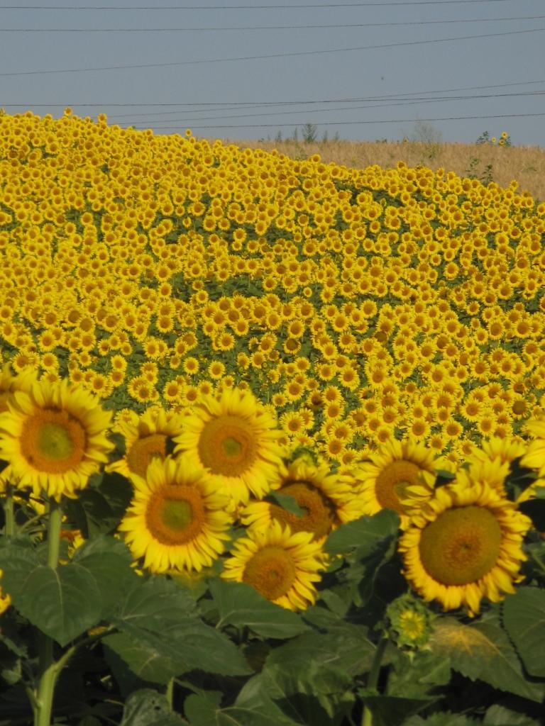 floarea soarelui foto calin hera