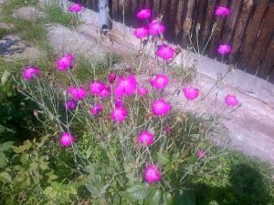 Flori la Budişteni. FOTO (cu telefonul): Călin Hera