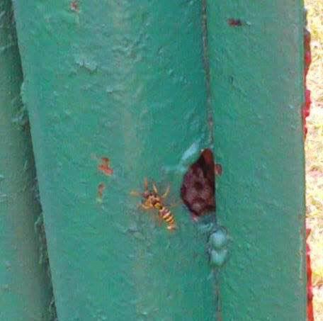 Budişteni. Cuib de viespi în poarta de fier. FOTO (cu telefonul): Călin Hera