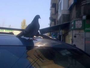 Porumbel pe o maşină în Piaţa Amzei. Foto (cu telefonul) CĂLIN HERA