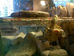 Viaţa la bloc. Broscuţă ţestoasă trăgându-şi sufletul. Foto cu telefonul: Călin Hera