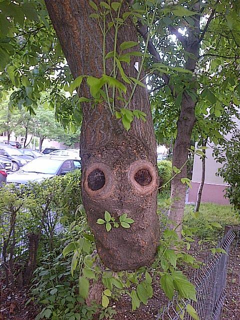 Vedere din Bucureşti. Cei doi ochi ai copacului. Foto cu telefonul: Călin Hera (mfc)