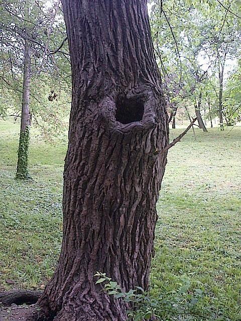Vedere din Bucureşti. Ochiul din copac. Foto: Călin Hera (cu telefonul)