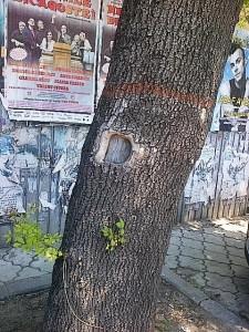 Copacul care şi-a închis ochiul. Foto cu telefonul: Călin Hera