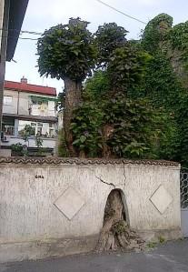 Vedere din Bucureşti. Un copac cu personalitate, de care, vrei sau nu, ţii cont. Foto: Călin Hera (cu telefonul)
