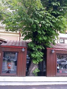 Vedere din Bucureşti. Copac cu personalitate, îmbrăcat de terasa care a intrat pe trotuar, dar a ocolit înfrunzitul, îmbrăcându-l. Foto Călin Hera (cu telefonul)