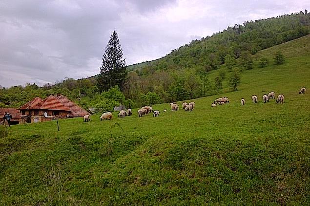 Turmă în munţii Orăştiei, incluzând şi miei care au scăpat cu bine de sărbătorile pascale. Foto cu telefonul: Călin Hera