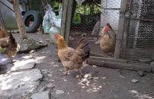 Dânsele, găinile. Foto: Călin Hera (cu telefonul)