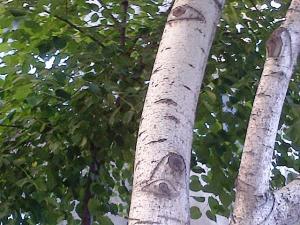 Vedere din Bucureşti. Copac cu cel puţin doi ochi. Foto cu telefonul: Călin Hera
