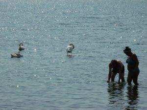 Lebede la Marea Neagră. Foto: Călin Hera