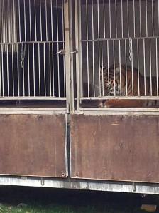 Vedere din București. Tigri, pantere, lei și leoparzi printre blocuri, în centrul Capitalei. Foto cu telefonul: Călin Hera