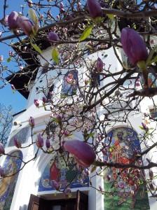 Vedere din Bucureşti. Mica Împărăţie a Magnoliilor din curtea  bisericii. Foto cu telefonul: Călin Hera