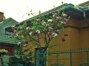Vedere din București. Magnolie în curte. Foto (cu telefonul): Călin Hera