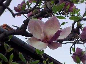 Vedere din București. Profil de magnolie. Foto (cu telefonul): Călin Hera