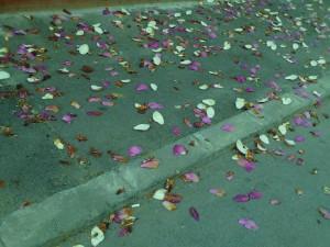 Vedere din București. Petale de magnolie. Foto (cu telefonul): Călin Hera