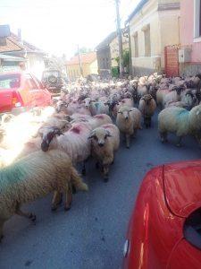 Vedere din Hunedoara. Transhumanţă pe străzile oraşului. Turmă cu 300 de oi de la Săvârşin, apucând pe drumul cel mai scurt. Foto cu telefonul: Călin Hera
