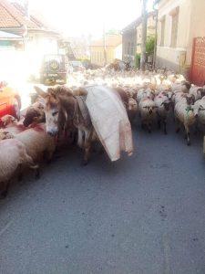 Vedere din Hunedoara. Transhumanţă pe străzile oraşului. Turmă cu 300 de oi, plus măgari, câini şi ciobani de la Săvârşin, apucând pe drumul cel mai scurt. Foto cu telefonul: Călin Hera