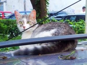 Vedere din Bucureşti. Pisica pe maşina fierbinte. Foto cu telefonul: Călin Hera