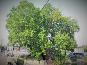 Vedere din București. Platanul de la Podul Cotroceni - bătrân, frumos, puternic și rezistent la poluare. Foto cu telefonul: Calin Hera