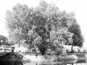 Vedere din București. Platanul de la Podul Cotroceni - alb-negru, bătrân, frumos, puternic și rezistent la poluare. Foto cu telefonul: Calin Hera