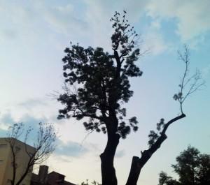 Vedere din București. Un copac cu ciori în Parcul Cișmigiu. Foto cu telefonul: Călin Hera