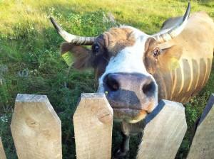 Vacă (doamna Joiana) pe islaz, lângă Horezu. Foto cu telefonul: Călin Hera
