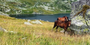 Munții Retezat. Cai pe-un picior de plai, pe-o gură de Rai. Lângă lacul Bucura, sub Curmătură. Foto cu telefonul: Călin Hera