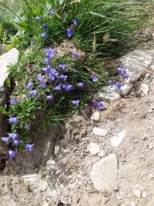Munții Retezat. Flori pe cărare. Foto cu telefonul: Călin Hera