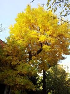 Copac pe care îl vezi doar toamna, deşi e acolo de când lumea. Foto cu telefonul: Călin Hera