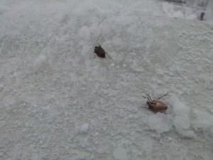 Gândaci puturoși răpuși de prima zăpadă