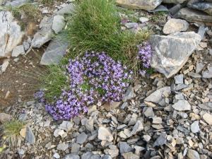 Munții Olimp. Flori pe coclauri. Foto: Călin Hera